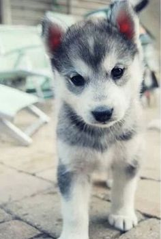 I want a husky soooooo bad!