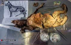 Experts examine 12,000-year-old frozen puppy.  The dog, believed to be a three-month-old female, was unearthed in 2011 on  the Syallakh River in the Ust-Yana region of Yakutia, also known  as the Sakha Republic [Credit: NEFU]