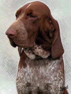 Bracco Italiano: An Italian Gun Dog! I think this is the breed for me but it changes all the time but today it feels right