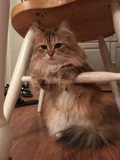 Ambrosia is a 3 yr of purebred Siberian princess. She fetches like a dog, opens cabinets to steal butter and is the most beautiful girl in the world.