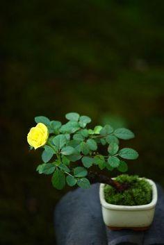 チョコレート盆々-秋のミニバラ Plants, Succulents, Mini Plants, Mini Garden, Moss Garden, Mini Bonsai, Container Gardening, Growing Tree, Miniature Trees