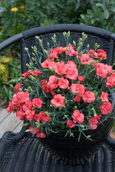 Dianthus 'Rosebud' • Fragrance & colour for entertainment areas • Containers • Small gardens or spaces • Edging for pathways or gardenbeds • General garden use • Cut flower for posies • Rockeries