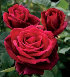 Conoce a esta bella rosa de aroma intenso y colores vivos...