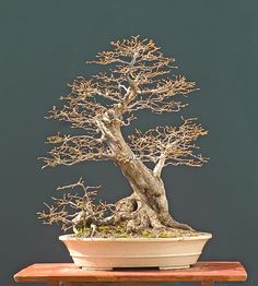 Hornbeam Bonsai Gallery - this Bonsai is shown during 3 different seasons, with green leaves, fall leaf colors, and this one. There are other beautiful Hornbeams that are also shown during different seasons.