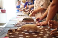 But ALL hedgehogs are beautiful.   40 Things We Learned At The Hedgehog Convention