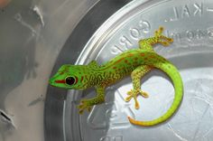 Adorable crimson day gecko hatchling  (See more pics of freaking cute baby reptiles at ReptiFiles!)