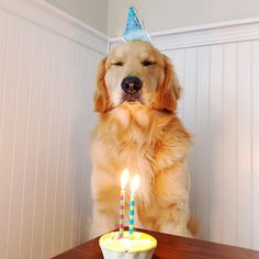 "838 Likes, 31 Comments - Bauer The Golden Retriever (@bowwow_bauer_thegolden) on Instagram: ""Thanks much for all the birthday wishes! "" #goldenretriever"