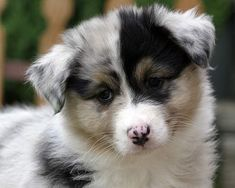 Australian Shepherds melt my heart.