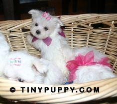 Tiny Maltese puppies **