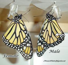 Do you know how to tell the difference between a male monarch butterfly and a female? Check out these Monarch Butterfly Pictures to see the differences. Pictures Of Monarch Butterflies, Butterfly Pictures, Monarch Butterfly, Beautiful Butterflies, Butterfly Food, Butterfly Cage, Butterfly Feeder, Butterfly Hatching, Butterfly Garden Plants