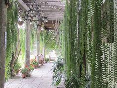 Trailing Ferns