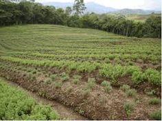 Resultado de imagen de cultivos de romero en colombia