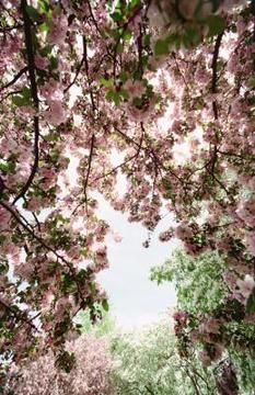 Weeping cherries have drooping limbs rather than upright branches.