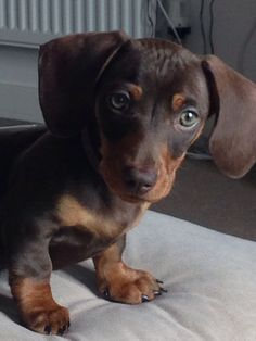 My gorgeous miniature dachshund puppy x