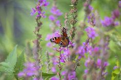 Butterfly by pjgon71
