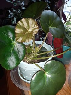 Shrubs For Landscaping, Unusual Plants, Begonia, House Plants, Plant Leaves, Cactus, Landscape, Flowers, Health