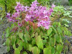 Epimedium grandiflorum `Lilafee` (Elfenbloem) | VASTE PLANTEN | Tuinplanten stekplek
