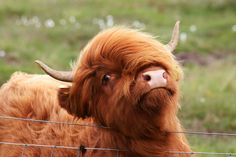 Searched fluffy cow was not disappointed Cute Baby Cow, Baby Cows, Cute Cows, Cute Baby Animals, Farm Animals, Baby Elephants, Wild Animals, Baby Baby, Scottish Highland Cow