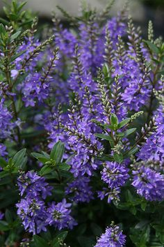 Hebe Garden Beauty Blue ('Cliv') - A relatively new densely branching form, that provides year-round interest with its glossy green leaves, and early summer colour when the profusion of purple-blue flowers appear. It is quite a compact grower, so makes a good plant for a patio pot - or even a large windowbox. It also looks good when planted closely to form a low-growing hedge. It is said to be quite resistant to pests and diseases and is also hailed as hardier than many of the other hebes.