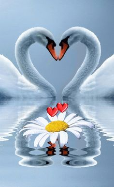 "keemeekaal: ""♡ Right On "" Beautiful Love Pictures, Beautiful Swan, Beautiful Rose Flowers, Beautiful Birds, Cute Wallpaper Backgrounds, Love Wallpaper, Cute Wallpapers, Coeur Gif, Love Heart Images"