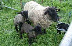 Suffolk Ewe and lambs///wowww, beauty beautiful xxxx :)