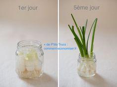 Faire pousser ciboule dans l'eau en 5 jours