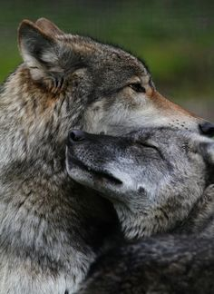 wild animals | grey wolves