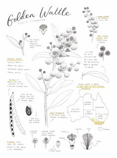 Client // Private Commission Project // An illustrated fact sheet about the Golden Wattle flower Australian Native Flowers, Bloom, Bullet Journal, Floral, Illustration, Nature, Chain, Life, Art
