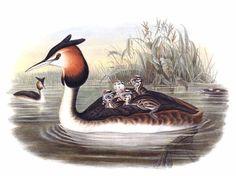 Grèbe huppé - Podiceps cristatus