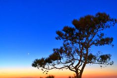 moonrise pine tree silhouette at assateague