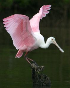 There are 6 species of Spoonbill birds in 2 genera  distributed over much of the world. They're monogamous for one season at a time. All Spoonbills have large, flat, spatulate bills and feed by wading through shallow water, sweeping the partly opened bill from side to side, when any small aquatic creature touches the inside of the bill it is snapped shut. Spoonbills generally prefer fresh water to salt but are found in both environments.