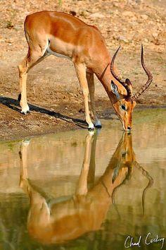 Impala Animal Jumping Faith fear and the impala | Impala ...