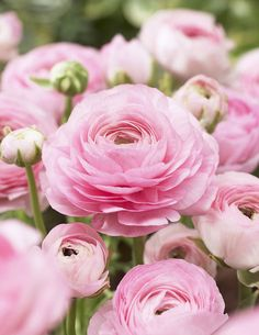 These lovely pink ranunclus flowers come wrapped nicely in celofan with a ribbon and make the ultimate girlfriend spring present Beautiful Flowers Pictures, Beautiful Flower Arrangements, Flower Pictures, Love Flowers, Pink Garden, Dream Garden, Ranunculus, Flower Tutorial, Garden Planning