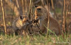 Red Fox Cubs by Shayna Hartley