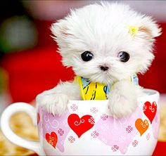 5 Tinniest puppies you have ever seen, a teacup puppy :)