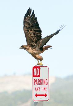 Red-tailed Hawk (Birds of Prey, Hawks)