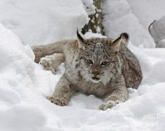 Baby lynx in the snow.