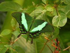 Beautiful Butterfly In The Shades Of Green