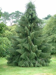 Details about Himalayan Spruce Picea smithiana (Morinda Spruce) Tree Seeds (Evergreen) Weeping Evergreen Trees, Evergreen Garden, Evergreen Trees Landscaping, Evergreen Landscape, Garden Shrubs, Garden Trees, Trees And Shrubs, Trees To Plant, Canadian Hemlock