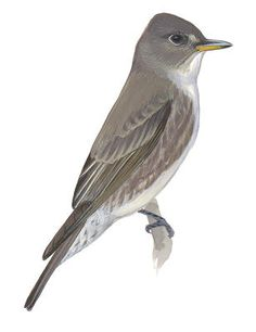 Olive-sided Flycatcher -  Contopus cooperi. Birds of North America Field Guide | Audubon