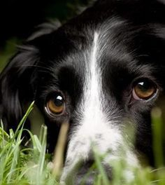 """The eyes are a window to the soul."" And what a special soul Border Collies have."