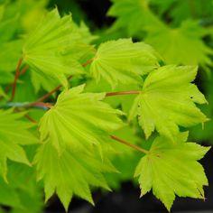 Acer shirasawanum Aureum | Golden Shirasawa Maple Tree