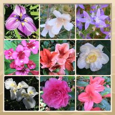 The Sonoma County blossom trail - May 2014. This week at #SonomaHort summer is underway, azalea blossoms include; Pequeño, Shira-Fuji, Coral Wings, May Queen, Ama Ghasa, Sonoma Dwarf 'Pink Picotee', Nuccio's Wild Cherry, Hexe and Ikoma. Rhododendrons; Autumn Gold, Bud Flanagan, Tally Ho, & Radium. Companion plants, Kolwitzia amabilis 'beauty bush', Sinocalycanthus chinensis 'allspice', and Weigela Bristol Ruby. Sonoma Horticultural Nursery — Sebastopol, CA http://www.sonomahort.com