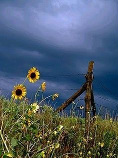 Wildflowers in their natural habitat. Wildflowers in their natural habitat. Sunflowers And Daisies, Wild Flowers, Beautiful Flowers, Beautiful Pictures, Landscape Arquitecture, Country Fences, Old Fences, Daisy, Country Life