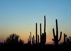 Saguaro Cactus, Dusk, Silhouette, Desert