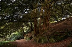 """Yew trees at Wakehurst Place, West Sussex."""