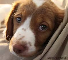 Image result for brittany spaniel pups