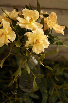 ichikawa roses
