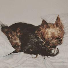 """Da geht man kurz duschen und wenn man wiederkommt, findet man sowas. Und das im Hotelbett...also wirklich. Wenn das die Wirtin sieht. Verratet uns nicht   Damit """"Guten Morgen"""" und einen schönen Start in den PICTURE MY DOGGY DAY euch allen!  #pmdoggyday2015 #yorkshireterrierblog #hundeblog #dogblog #blogger #bloggeraktion #yorkie #Yorkshireterrier #hund #dog #hunde #dogs #hundeblogger #dogblogger"""