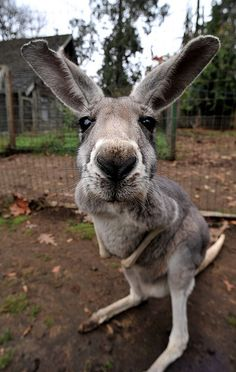 """Kangaroo"" at the Outback Kangaroo Farm, Arlington, Washington  [Photo by Sweendo (Sean Sweeney) - November 14 2009]"